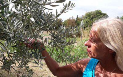 Der Olivenbaum – ein Baum mit Charakter