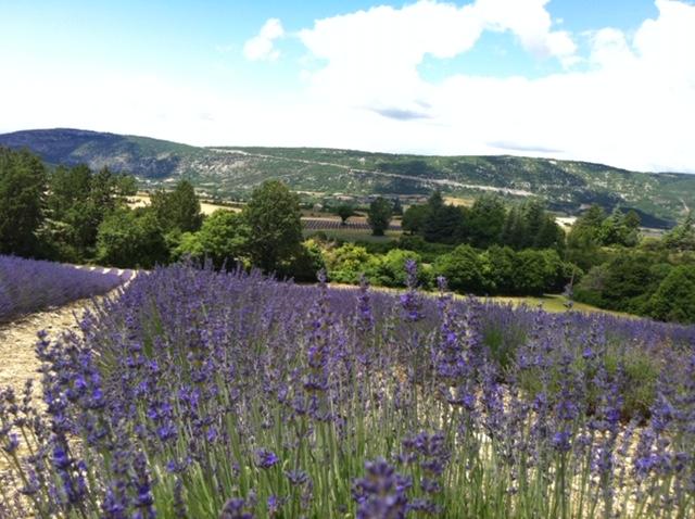 Lavendel: Ein Traum von blass-blau bis tief-violett