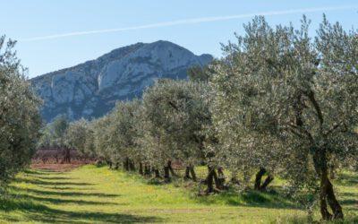 Olivenöl – Huile d'Olive: Das Gold der Provence steckt voller Leidenschaft